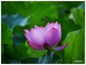 2016植物園荷花季:_1110359.JPG