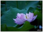 2016植物園荷花季:_1110369.JPG