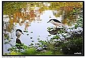 蒼鷺.夜鷺捕魚趣:D 093.jpg