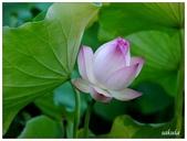 2016植物園荷花季:_1110410.JPG