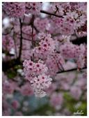 吉野櫻花季:T 223.jpg