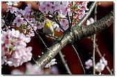 櫻花與綠繡眼:DSC_3489.jpg