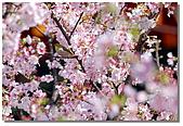 櫻花與綠繡眼:DSC_3495.jpg
