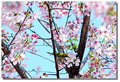櫻花與綠繡眼:DSC_3503.jpg