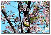 櫻花與綠繡眼:DSC_3508.jpg