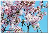 櫻花與綠繡眼:DSC_3513.jpg