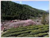 2014武陵櫻花季: