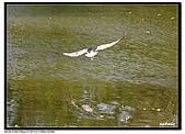 蒼鷺.夜鷺捕魚趣:D 063.jpg