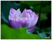 2016植物園荷花季:_1110387.JPG