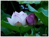 2016植物園荷花季:_1110399.JPG