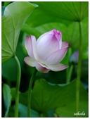 2016植物園荷花季:_1110405.JPG