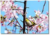 櫻花與綠繡眼:DSC_3521.jpg