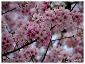 吉野櫻花季:T 229.jpg