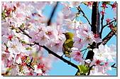 櫻花與綠繡眼:DSC_3522.jpg