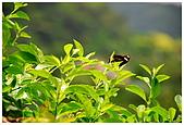陽明山蝴蝶季:05.jpg