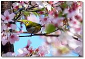 櫻花與綠繡眼:DSC_3531.jpg