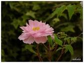 杉林溪牡丹園:_1110208.jpg