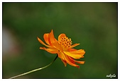 花卉隨手拍:DSC_5385.jpg