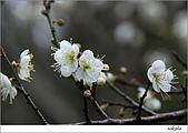 梅花 & 梅花湖:DSC_2259.jpg
