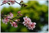 天元宮賞吉野櫻:DSC_3237.jpg