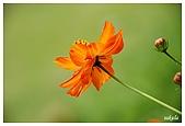 花卉隨手拍:DSC_5390.jpg