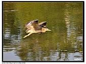 蒼鷺.夜鷺捕魚趣:D 068.jpg