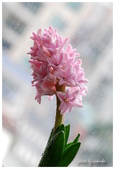 花卉來迎春:DSC_1258.jpg