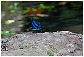 陽明山蝴蝶季:10.jpg