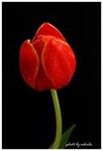 花卉來迎春:DSC_1278.jpg
