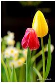 花卉來迎春:DSC_1299.jpg