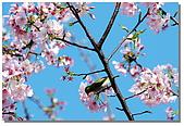 櫻花與綠繡眼:DSC_3545.jpg