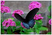 陽明山蝴蝶季:12.jpg