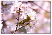櫻花與綠繡眼:DSC_3549.jpg