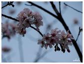吉野櫻花季:T 251.jpg