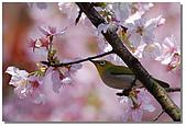 櫻花與綠繡眼:DSC_3554.jpg