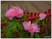 杉林溪牡丹園:_1110297.jpg