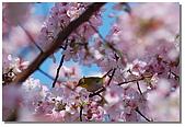 櫻花與綠繡眼:DSC_3557.jpg
