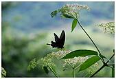 陽明山蝴蝶季:14.jpg