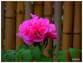 杉林溪牡丹園:P1110210.jpg