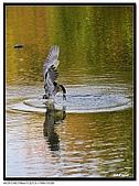 蒼鷺.夜鷺捕魚趣:D 072.jpg