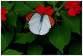 陽明山蝴蝶季:15.jpg
