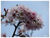 吉野櫻花季:T 252.jpg