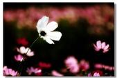 波斯菊的夢想世界:11.jpg