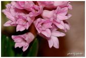 花卉來迎春:DSC_1015.jpg