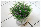 花卉隨手拍:DSC_5428-1.jpg