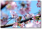 櫻花與綠繡眼:DSC_3559.jpg
