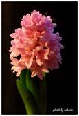 花卉來迎春:DSC_1058.jpg