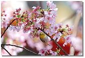 櫻花與綠繡眼:DSC_3561.jpg