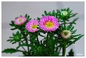 花卉隨手拍:DSC_5444-1.jpg