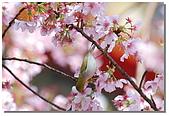 櫻花與綠繡眼:DSC_3562.jpg